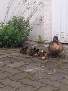 Die Entenfamilie auf Wanderschaft mitten auf der Sudbrackstrasse